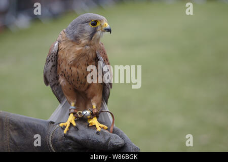 Bird of prey at the country show - Stock Photo