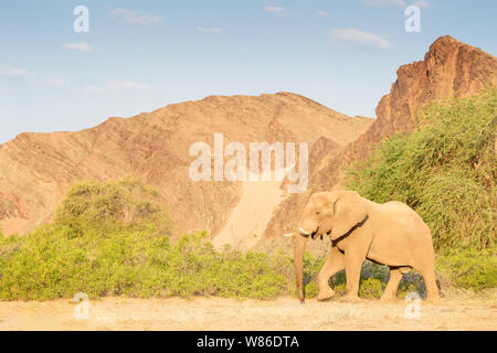 African Elephant (Loxodonta africana) bull, desert adapted elephant walking in riverbed of Hoanib desert, Kaokoland, Namibia - Stock Photo