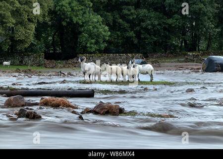 Sheep Trapped by Floodwater, Holme Farm, Arkengarthdale, North Yorkshire, UK - Stock Photo