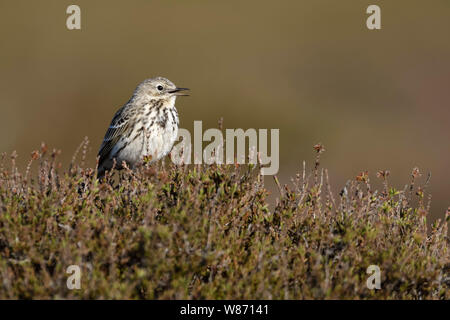 Meadow Pipit / Wiesenpieper ( Anthus pratensis ) perched elevated on top of heather bushes, singing, courting display, wildlife, Europe. - Stock Photo