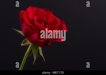 Roses and Carnations On Black and White Backgrounds - Stock Photo
