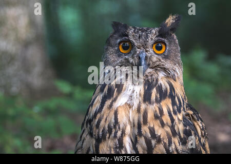 Close up of the Eurasian Eagle owl head. Spotted eagle-owl or bubo bubo in the wildlife.