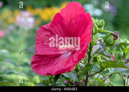 Closeup of beautiful blooming large red Perennial Hibiscus flower and buds in Canadian garden in summer. The background is multicolored floral bokeh. - Stock Photo