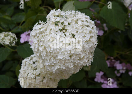 White Hydrangea Annabelle - Stock Photo