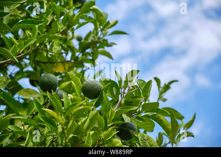 unripe oranges on citrus tree on sunny day - Stock Photo