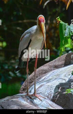 Yellow billed stork standing on stone - Stock Photo