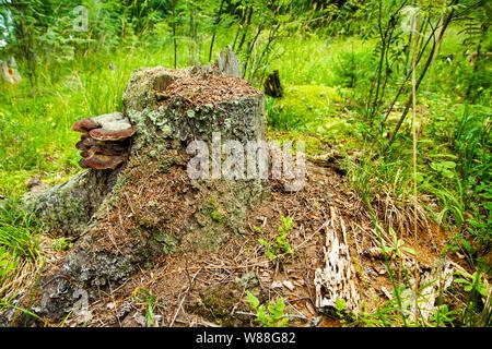 Anthill on the stump