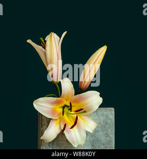 pink white yellow lily blossoms and bud macro,on a concrete stone cube with water droplets, detailed texture on dark green background in vintage paint - Stock Photo