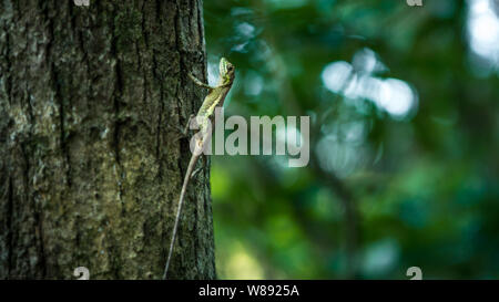 Swinhoe Japalura resting on a tree of green jungle. Japalura Swinhonis is a specie of lizard endemic to Taiwan. - Stock Photo