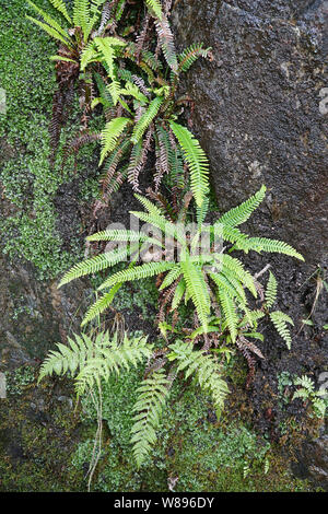 Ferns growing in crevices in rocks in a damp woodland on a mountain path in wales, UK - Stock Photo