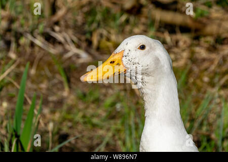 Mucky ducks. Portrait of white ducks with swamp mud around beaks - Stock Photo