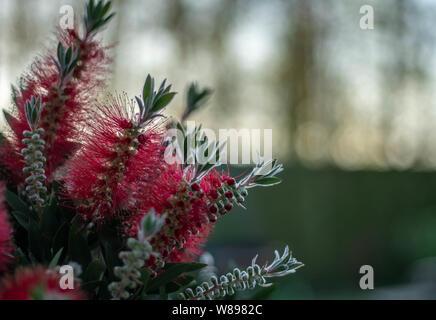 Callistemon montanus - Stock Photo
