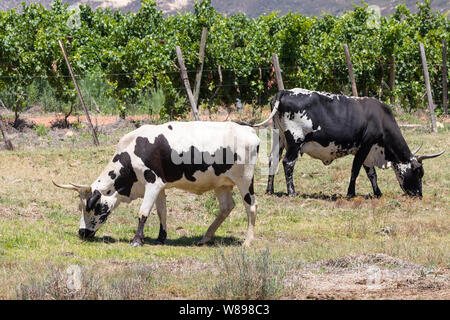 Two black and white African Nguni beef cattle, cows, grazing in a pasture in South Africa - Stock Photo