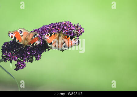 Two peacock butterflies on a buddleia flower. - Stock Photo