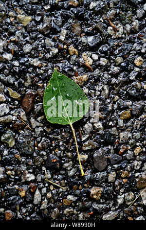 Green leaf with water drops on it laying on a bed of wet rocks. - Stock Photo