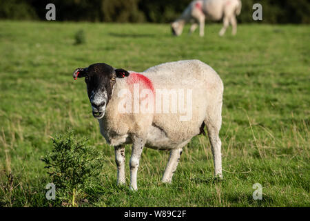 Yorkshire sheep - Stock Photo