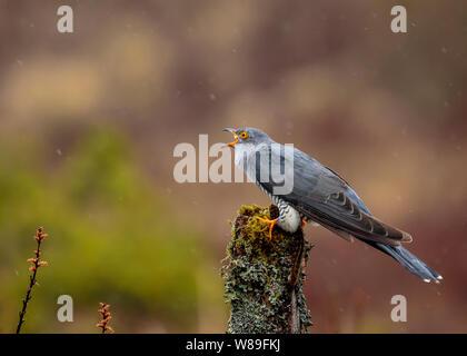 Male Cuckoo Calling to Female - Stock Photo