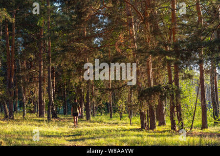 A man in shorts and a T-shirt walks through the pine forest in the early morning. View of the back - Stock Photo