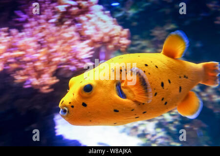 A Blackspotted puffer swimming at high speed by the corals. The purple coral emphasizes the beautiful yellow color of the fish. - Stock Photo