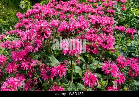 Pink bergamot monarda didyma (bee balm) flowers England UK United Kingdom GB Great Britain - Stock Photo