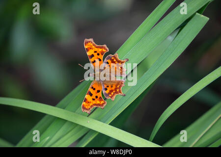 Comma butterfly Polygonia c-album on broad green leaved plant in a domestic U.K. garden, showing the  conspicuous angular notches on the wings - Stock Photo