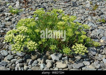Rock Samphire sea fennel Crithmum maritimum  edible sea plant growing on a pebble beach Ceredigion Coast Path Wales cymru UK - Stock Photo