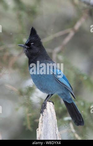 Steller's jay / Diademhaeher ( Cyanocitta stelleri ) in winter, perched exposed on top of a dead trunk, erected crest, watching attentive, Yellowstone - Stock Photo