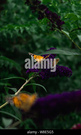 Beautiful contrasting painted lady butterflies gathering pollen from purple buddleja blooms - Stock Photo