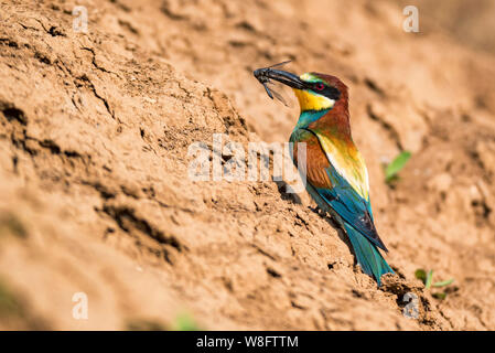 European bee-eater or Merops apiaste perches on rock with dragonfly in beak - Stock Photo