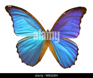 great blue butterly with big wings on white background - Stock Photo
