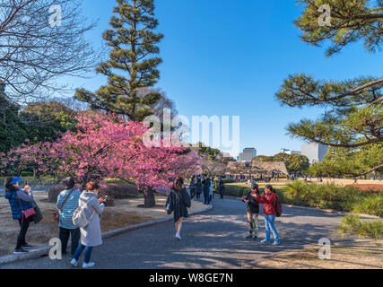 Visitors taking pictures of cherry blossom with the site of the Edo Castle Keep in the distance, East Gardens, Imperial Palace, Tokyo, Japan - Stock Photo