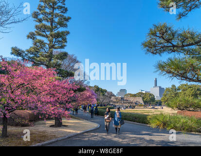 Cherry blossom with the site of the Edo Castle Keep in the distance, East Gardens, Imperial Palace, Tokyo, Japan - Stock Photo