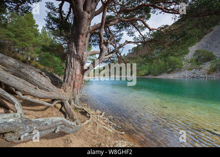 An Lochan Uaine, little loch in the Glenmore Forest Park, Cairngorms National Park near Aviemore, Badenoch and Strathspey, Scotland, UK - Stock Photo