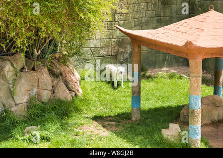 LANZAROTE, CANARY ISLANDS, SPAIN - APRIL 20, 2019: Rancho Texas Lanzarote Park, the only zoo with pools. White tiger at the zoo. The area known as Cor - Stock Photo