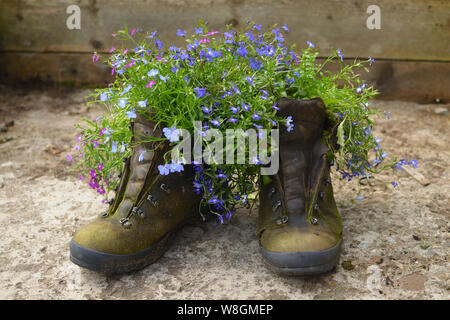 A pair of old leather walking boots reused as plant pots for garden flowers (lobelias) in a domestic garden in the UK. - Stock Photo