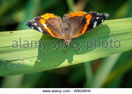 Red Admiral butterfly Vanessa atalanta dorsal view on leaf in Toronto Ontario Canada. - Stock Photo
