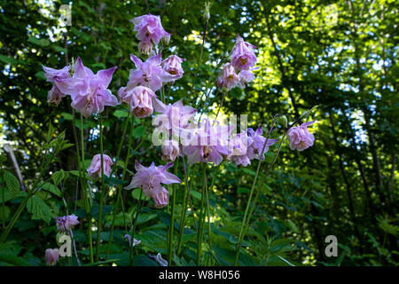Lilac wild flowers in the forest - Stock Photo