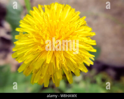 yellow dandelion flower growing in a spring garden, close up, top view - Stock Photo