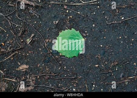 A single green birch leaf lies on wet gray asphalt among dry branches. - Stock Photo