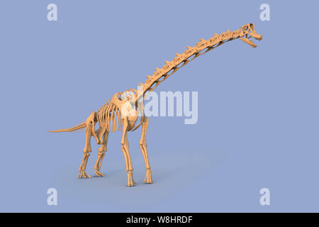 Brachiosaurus dinosaur skeletal structure, illustration. Brachiosaurs lived 154-153 million years ago during the late Jurassic period. - Stock Photo