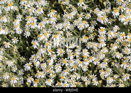 Paper Daisies form a spectacular background - Stock Photo