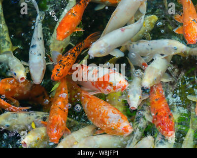 A large group of adult nishikigoi, koi carp in different colors, like gold, white, white with red, white spotted in a pond. - Stock Photo