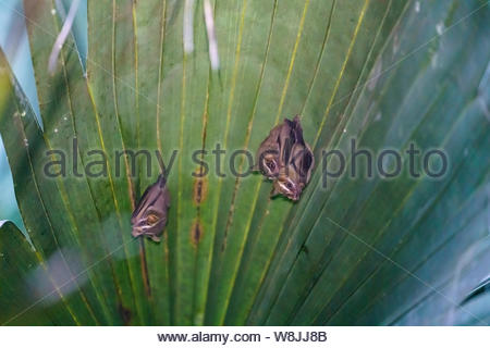 Tent-making Bat (Uroderma bilobatum) taken in Costa Rica - Stock Photo