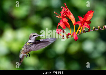 An immature male ruby throated hummingbird hovering near at bright red crocosmia flower in a garden in Speculator NY USA - Stock Photo