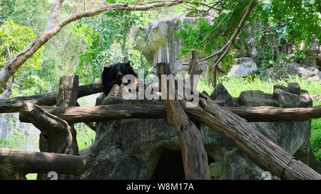 The bear is sleeping in a tree. Concept of animals in the zoo - Stock Photo