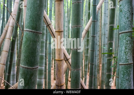 Arashiyama Bamboo Grove also known as the Sagano Bamboo Forest, located in western Kyoto, Japan.