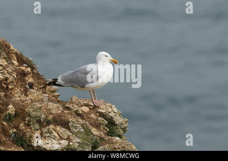 A hunting Herring Gull, Larus argentatus, standing on the cliffs  looking around waiting for an opportunity so it can steal an unguarded chick. - Stock Photo
