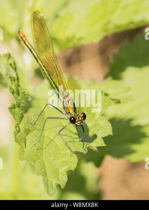 female banded damselfly, demoiselle, Calopteryx virgo, summer 2019 - Stock Photo