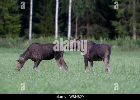 Two male moose on a field with trees in the background. Sweden, July 2019 - Stock Photo