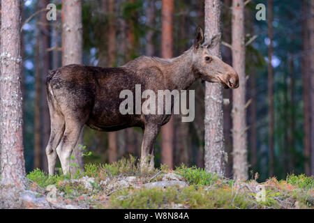 A wild female moose or elk in a forest in Sweden, July 2019 - Stock Photo